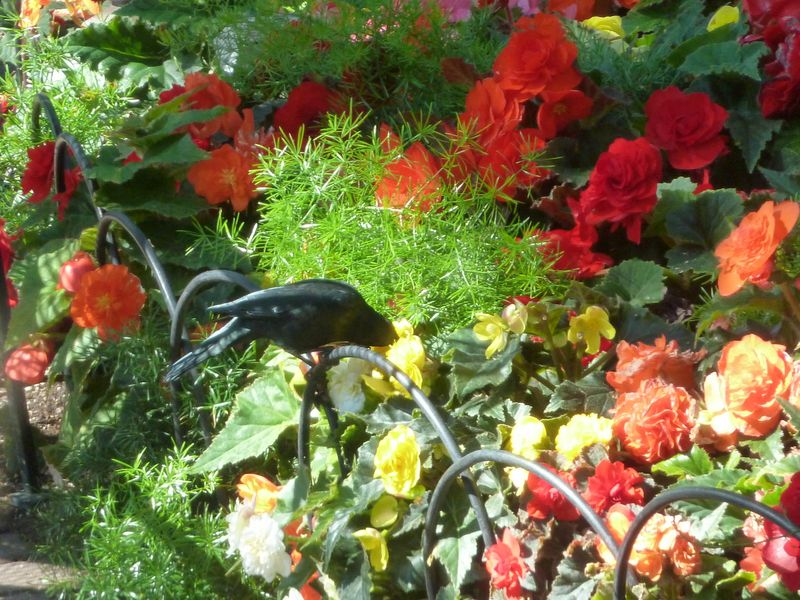 blackbird in begonia garden