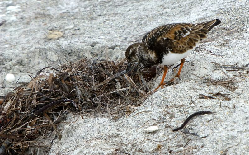 ruddy turnstone with dried seaweed