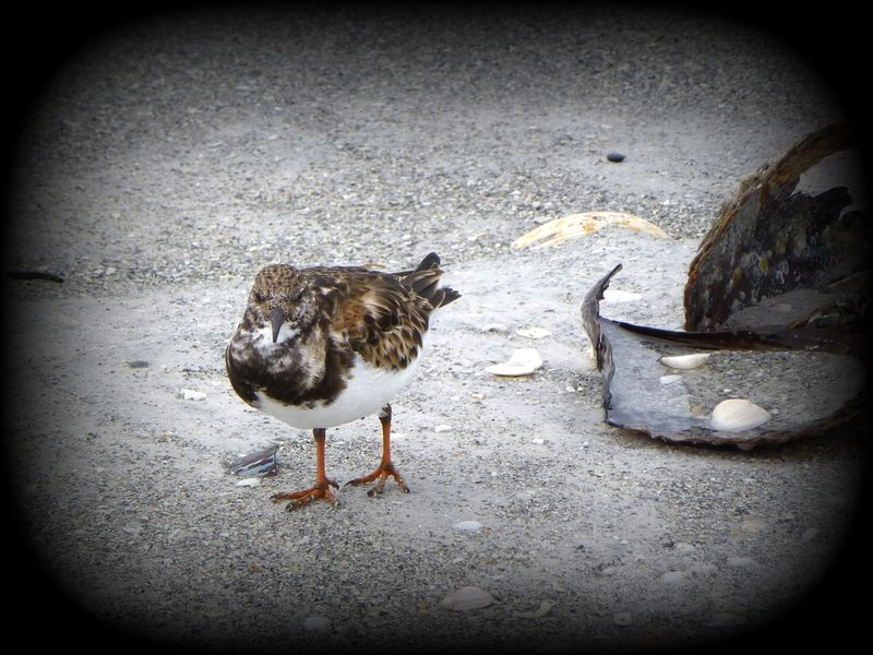 ruddy turnstone front view