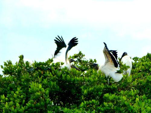 Stork wing display