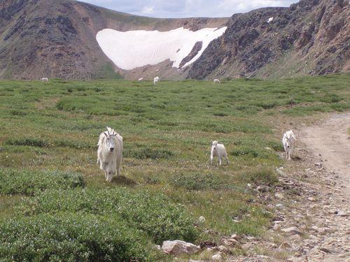 Mt goat family 040