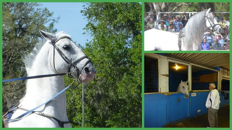 Royal Lippizan Stallions March 20132