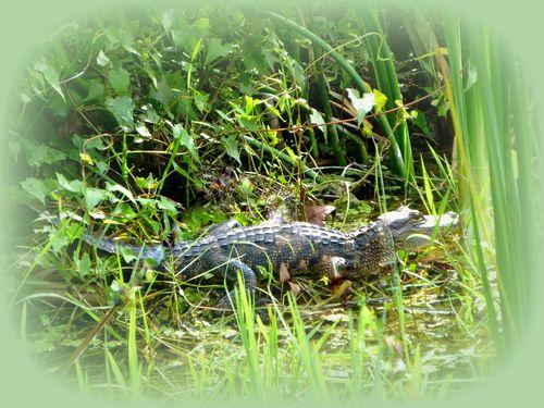 alligator six mile cypress