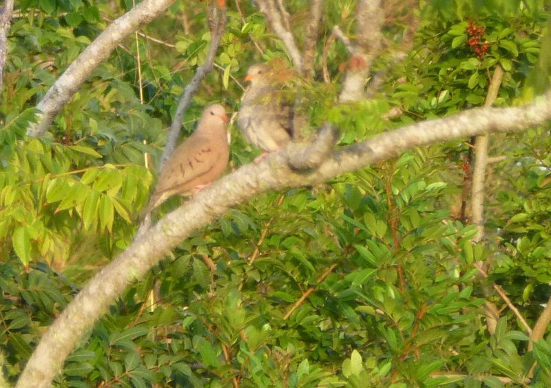ground doves