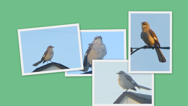 mockingbird collage