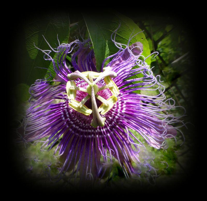Pineland passionflower-001