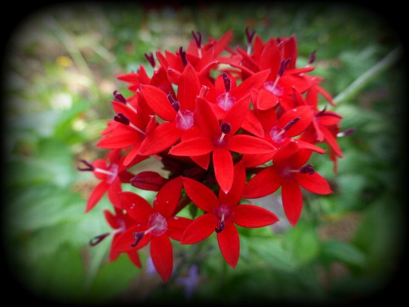 Red floweringbush2