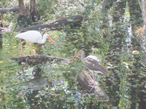 Ibis and immat ibis