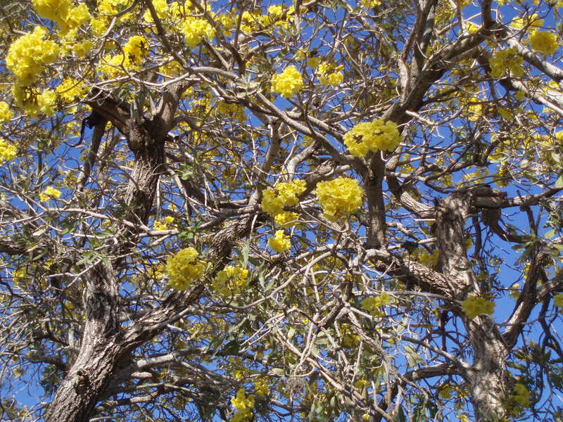 Yellow tree capecoral theater