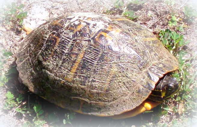 Tortoise prairie picrest area ocala 11