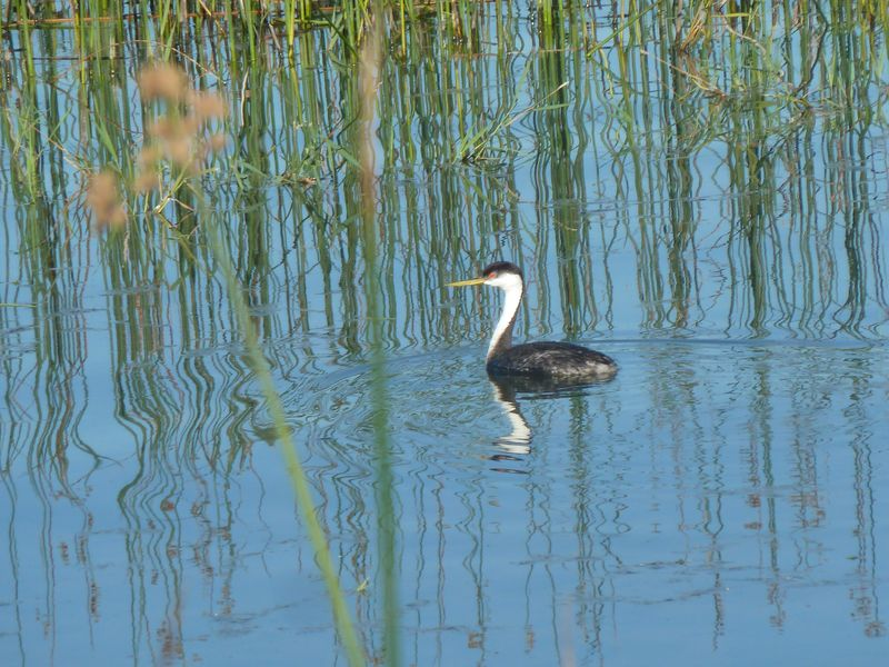 Grebe in the reeds