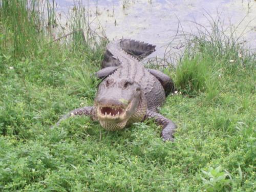 Alligator teeth2