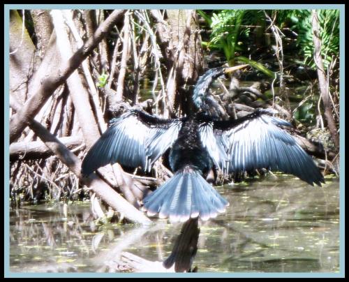 Anhinga drying wings better-002