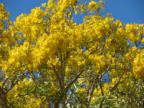 Food for the body mind and spirit a full time life we dont have typical spring flowers here in sw florida but for a short time in late march we see glorious yellow blossoms on the tabebula trees all over mightylinksfo