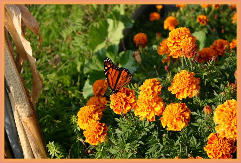 Butterfly and marigolds 100_0025-001
