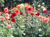 Dahlias_hampton_gardens