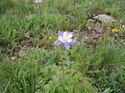 Columbine_colorado_st_flower_086