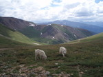 Goats_and_mt_085