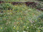 Wildflower_meadow011