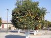 Orange_tree_45