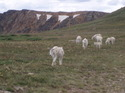 Goats_and_natural_bridge_073