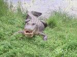 Alligator_018