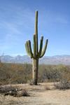 Saguaro_1231
