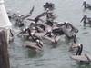 Pelicans_at_boat_60